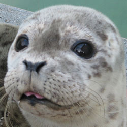 Saving Seals in Sausalito