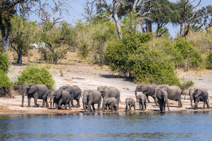 Large herd of elephants, including babies, walking along the bank of the Chobe River, with bushes and trees in the background, Botswana, Africa